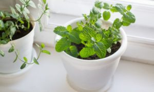 Easy Ways to Grow Mint at Home